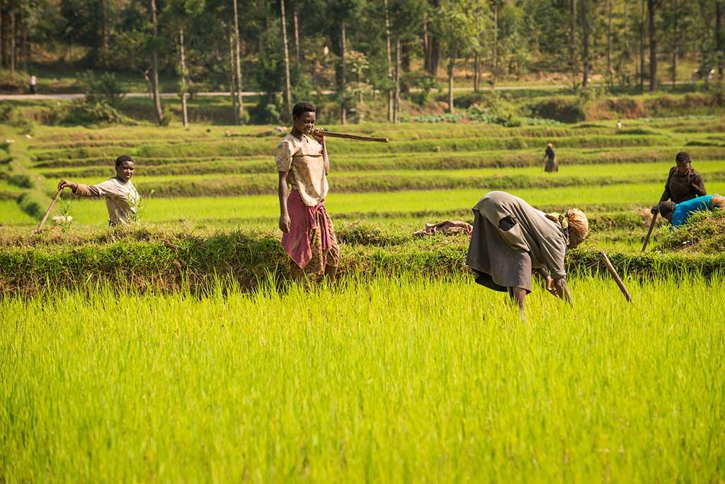 Rice fields in Rwanda